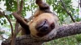 Korkeasaaren Coco-laiskiainen yhdistää nukkumisen ja syömisen saumattomasti