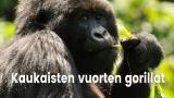 Kaukaisten vuorten gorillat