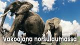 Vakoojana norsulaumassa
