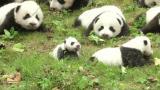 Tältä näyttää 36 yhtäaikaa näytille tuotua pandan poikasta